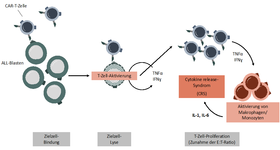 Pathogenese des Cytokine-release-Syndroms (CRS) unter CAR-T-Zell-Therapie
